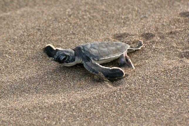 A baby turtle crawls out to sea.