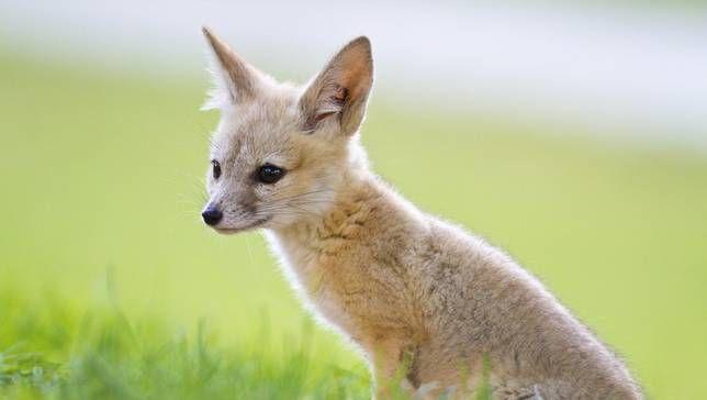 kit-fox-LEAD.jpg.653x0_q80_crop-smart